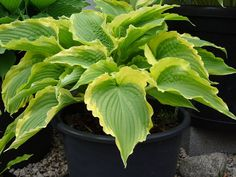 Hosta 'Tropical Dancer'