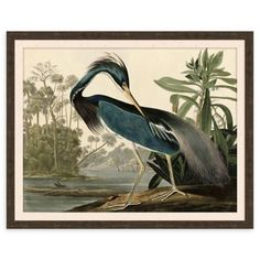 With stunning detail, the majestic Blue Heron Framed Wall Art creates a dramatic coastal look to any room decor. Printed on paper in vibrant colors, this elegant print is displayed in a dark walnut frame and comes ready to hang. Vintage Art Prints, Vintage Posters, Audubon Birds, Audubon Prints, Birds Of America, John James Audubon, Yellow Painting, Blue Heron, Bird Prints