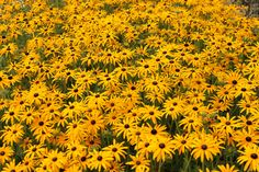 What a show!  Massed Rudbeckias create great groundcover