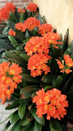Most Beautiful Orange and Yellow Flowers - Flores☘Altas. Exotic Flowers, Tropical Flowers, Amazing Flowers, Beautiful Flowers, Shade Garden Plants, Summer Plants, Yellow Wedding Flowers, Orange Flowers, Shade Flowers
