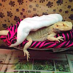 BEARDED DRAGON RESTING BED SET COVERS - Mercari: Anyone can buy & sell