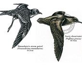 Bird illustration - Sooty Shearwater and Storm Petrel - bird art, print of original scratchboard artwork