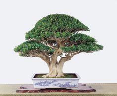 Murraya paniculata Bonsai Art, Bonsai Garden, Bonsai Trees, Murraya Paniculata, Flower Pot Design, Indoor Bonsai, Flower Pots, Flowers, Ficus