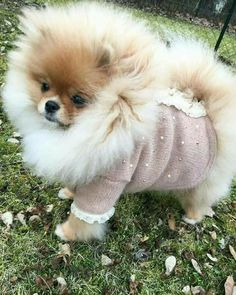 Marvelous Pomeranian Does Your Dog Measure Up and Does It Matter Characteristics. All About Pomeranian Does Your Dog Measure Up and Does It Matter Characteristics. Cute Puppies, Cute Dogs, Dogs And Puppies, Cute Babies, Doggies, Pomeranian Puppy, Chihuahua, Husky Puppy, Cute Baby Animals