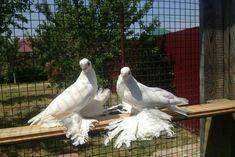 Pigeon Breeds, Albinism, Wings, Bird, Animals, Nature, Birds, Pigeon, Animales