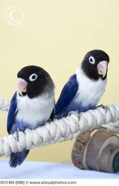 Black Masked Cobalt Lovebirds