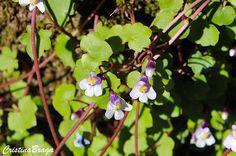 A Linária e uma herbácea, pertence à família Plantaginaceae, nativa da Europa Mediterrânea, perene ou anual, de ramagem muito fina, pendente ou reptante ....