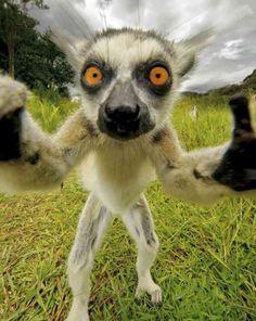 selfie de lémurien