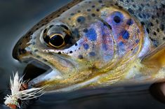 Close up macro photograph of a gorgeous little rainbow trout face with a dry fly in its mouth