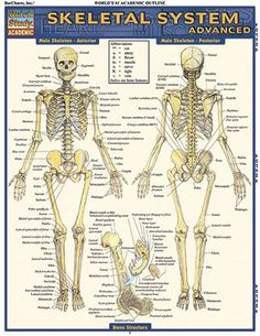 Skeletal System Advanced Download this review guide and improve your grades…