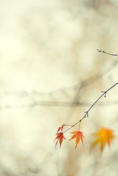 fading… by Brigitte Lorenz Bokeh Photography, Autumn Photography, Autumn Day, Autumn Leaves, Maple Leaves, Soft Autumn, Dame Nature, Fotografia Macro, Autumn Scenery