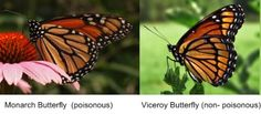 Monarch and Viceroy Butterflys. Mimicry camouflage example.