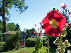 """Garten der Ferienwohnung """"Zum alten Pfau"""" im Ostseebad Göhren auf der Insel Rügen   #ruegen #ostsee #garten #blume #ostseebad #goehren #insel #sonne"""