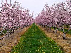 Peach Tree Orchard - Niagara Peninsula, ON photo twiga_swala Peach Blossom Tree, Peach Trees, Peach Blossoms, Blossom Trees, Peach Orchard, Apple Orchard, Bush Garden, Flame Tree, Trees And Shrubs