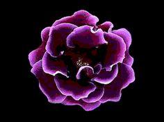 Hãy ngắm nhìn bông hoa màu tím tuy đẹp giản dị nhưng biến ảo đầy bí ẩn và hút mắt với tải hình nền động – Sắc hoa tím nhé bạn!