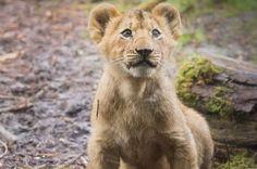 Woodland Park Zoo Woodland Park Zoo, North West, Lions, Trek, Seattle, Summer, Animals, Lion, Summer Time