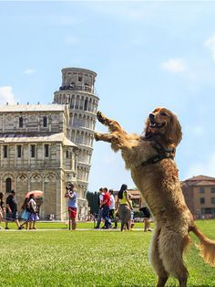 The Leaning Tower of Pisa is a hugely popular tourist site; people love taking forced perspective photos. See funny Leaning Tower of Pisa pictures here. Cute Funny Animals, Funny Cute, Funny Dogs, Funny Memes, That's Hilarious, Crazy Funny, Funniest Memes, Funny Tweets, Videos Funny