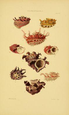v. 5 plates - Thesaurus conchyliorum, or, Monographs of genera of shells / - Biodiversity Heritage Library