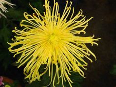 use copon GYKNN at checkoat for special discount Yellow Chrysanthemum, Chrysanthemums, New Print, Orchids, Herbs, Artwork, Flowers, Gardening, Work Of Art