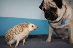 Pug and Hedgehog...Bestfriends!!!