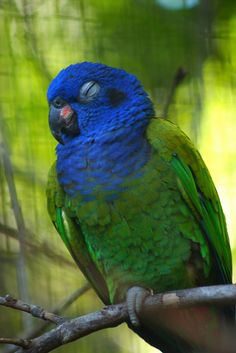 Blue-headed Parrot, aka Blue-headed Pionus taking a snooze (Pionus menstruus) - a medium large parrot. It is about 27 cm long.