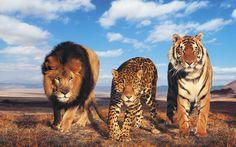 Lion Jaguar and Tiger Coming Check more at http://hdwallpaperfx.com/lion-jaguar-and-tiger-coming/