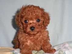 red poodle, looks just like my Alfie