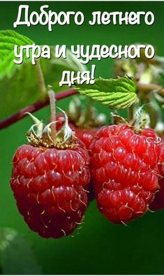 Raspberry Plants, Good Morning, Fruit, Words, Pictures, Tulip, Venice, English, Live