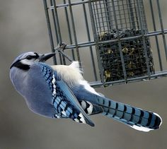 The blue jay, a common year-round resident of the Mid-South.