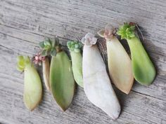 Collect a succulent leaf cutting in the spring or summer when the plant is actively growing. Choose a healthy plant with no signs of damage...