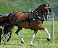 Dutch Harness Horse: I just rode in a small carriage with one of these beauties pulling it! Such gorgeous horses!