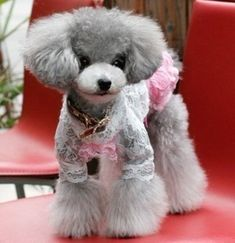 Poodles shouldn't be subjected to wearing clothing just cuz their owners want a doll to dress up. Poodles are beautiful and cute as they are! Plus clothing in warm weather makes the dog hot.
