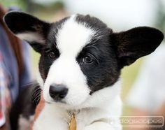 Corgi puppy! dogscapes.com