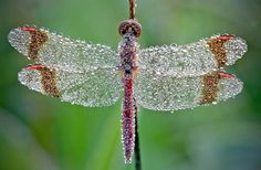 French photographer David Chambon, who specializes in wildlife photography, took these gorgeous macro photos of insects covered with morning dew, which we spotted over at Faith is Torment. Chambon's photos turn the bugs into glistening, crystalline… Dragonfly Pose, Dragonfly Photos, Dragonfly Wings, Beaded Dragonfly, Dragonfly Wallpaper, Dragonfly Painting, Dragonfly Jewelry, Hd Wallpaper, Jewelry Art