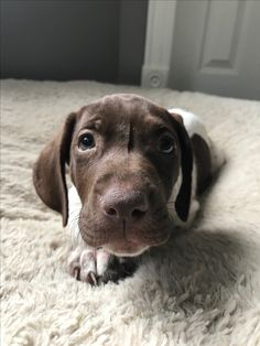 German Shorthaired Pointer Puppy. Say Hi to Wrigley❤️