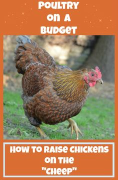 1000 images about chickens on pinterest chicken coops