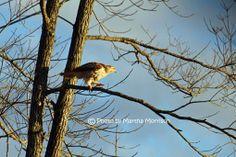 Red Tail Hawk on limb.