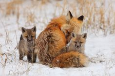 Mother's Comfort - Breckenridge, Colorado ~ fox kits explore their snowy new world without leaving their mother's side.