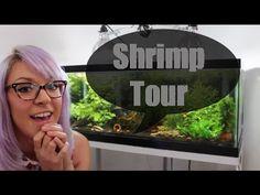 dwarf shrimp tank tour, caridina, neocaridina, crystal red shrimp, blue pearl shrimp, planted aquarium, freshwater tank, neon yellow shrimp ~<3