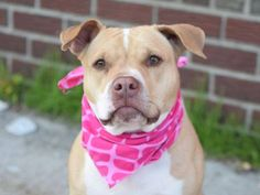 BELLA - A1034816 - Brooklyn - Publicly Adoptable TO BE DESTROYED 05/19/15 A volunteer writes: She's a little chubby, her legs are a little stubby, and she pulls it off with flying colors — its Bella! She is not only incredibly cute, but also a joy to be around. Bella walks very nicely on leash and seems housebroken. Her previous owners report that she has a low activity level, loves squeaky toys,... See More — with Sarah Sugars, Suzanne Balson and Micky Rudolph.