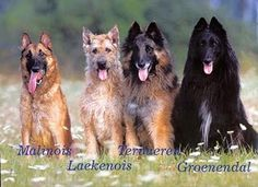 BELGIAN-SHEPHERD-DOG.jpg (320×232)