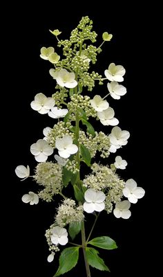 Hydrangea paniculata 'Kyushu' has an upright form and long panicle shaped flowers from late summer to autumn. Hortensia Hydrangea, Hydrangea Macrophylla, Hydrangea Garden, Hydrangeas, Amazing Flowers, White Flowers, Beautiful Flowers, Colorful Shrubs, Cottage Garden Plants