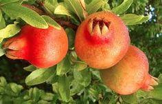 Granátové jablká - Plody granátovníka