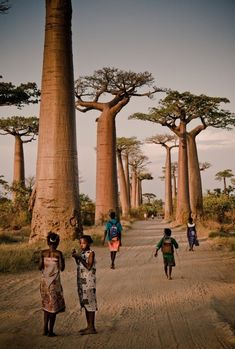 Avenue of the Baobabs, Morondava, Madagascar. - This alley of towering baobab trees lines the dirt road in the Menabe region of Madagascar and has become one of the most popular spots for tourists in the area. Oh The Places You'll Go, Places To Travel, Places To Visit, Places Worth Visiting, Madagascar, Baobab Tree, Out Of Africa, Jolie Photo, Instagram Worthy