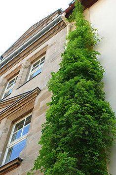 Akebie Blaugurkenwein (Akebia quinata) in der Fassadenbegrünung