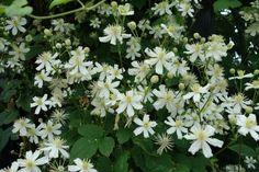 Clematis vitalba 'Paul Farges' (Summer Snow). Deze klimplant bloeit met veel bloemen, rijk weliswaar maar met kleine bloemen. De bloemen hebben opvallend lange lichtgele meeldraden. Ze geuren heerlijk zoet, en hoe meer deze plant in de zon staat, hoe sterker deze geur. Laat je goed adviseren over het snoeien van Clematissen!