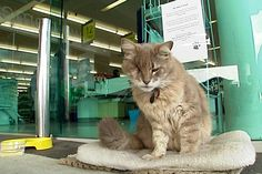A one-eyed cat named Diesel has been greeting supermarket customers outside Countdown in Rototuna