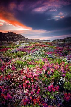 Toxos en flor Manuel Bermúdez