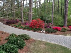 Front yard full of azaleas in bloom