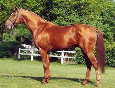 Robespierre - Hanoverian stallion | Horses | Pinterest